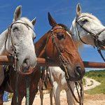 konavle-horse