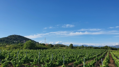 Photograph of a vineyard at Pelješac