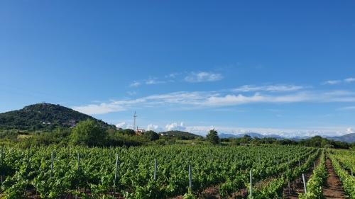 Photograph of a vineyard at Pelješac